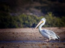 Free The Pink-backed Pelican Or Pelecanus Rufescens Is Going On The Beach In The Sea Somone Lagoon In Africa, Senegal. It Is Royalty Free Stock Image - 166326646
