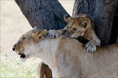Free The Playing Young Lion. Royalty Free Stock Photography - 16184387
