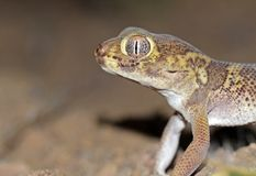 Free The Portrait Of Bedraiga`s Wonder Gecko Or Bedriaga`s Plate-tailed Gecko Stock Photography - 159754302