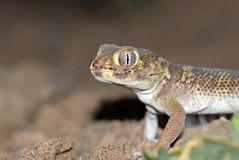 Free The Portrait Of Bedraiga`s Wonder Gecko Or Bedriaga`s Plate-tailed Gecko Royalty Free Stock Images - 159754319