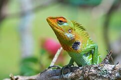 The Portrait Of Common Green Forest Lizard Or Calotes Calotes Stock Image