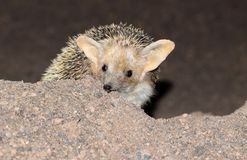 Free The Portrait Of Long-eared Hedgehog In Desert Stock Photos - 159753873