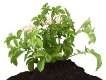 The Potato With Leaves Royalty Free Stock Image