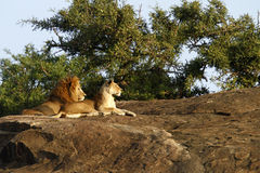 The Pride Of Africa II Royalty Free Stock Photography