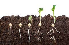Free The Process Of Seed Germination In The Soil In The Section. Isolated On White Background Stock Photos - 181670063