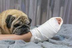 Free The Pug Laid His Head On The Owner's Foot. Human Foot In A Cast. The Dog Shows Pity And Compassion Royalty Free Stock Photo - 165583585