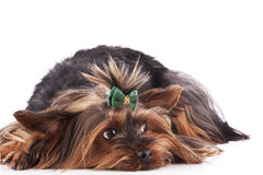 The Puppy Yorkshire Terrier Stock Photos