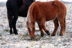 The Pure Bred Dartmoor Pony Royalty Free Stock Image