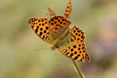 Free The Queen Of Spain Fritillary Butterfly , Issoria Lathonia Royalty Free Stock Photos - 157315098
