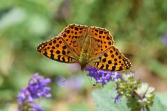 Free The Queen Of Spain Fritillary Butterfly , Issoria Lathonia Stock Image - 169754291