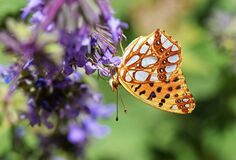 Free The Queen Of Spain Fritillary Butterfly , Issoria Lathonia Stock Image - 169754571