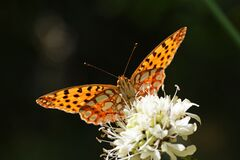 Free The Queen Of Spain Fritillary Butterfly , Issoria Lathonia In Dark Black Background Royalty Free Stock Photos - 183870298
