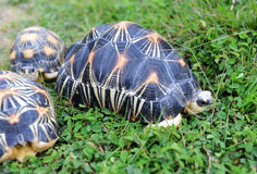 Free The Radiated Tortoise Stock Images - 14187514