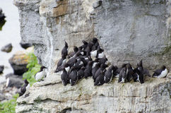 Free The Razorbill Alca Torda And The Common Murre Or Common Guillemot Royalty Free Stock Image - 94640036