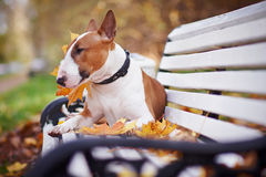 The Red Bull Terrier Lies On A Bench Stock Photography