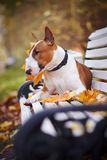 The Red Bull Terrier Lies On A Bench Stock Photos