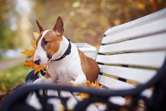 The Red Bull Terrier Lies On A Bench Royalty Free Stock Photos
