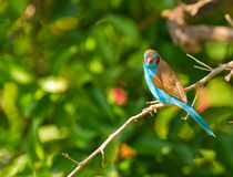The Red-cheeked Cordon-bleu Royalty Free Stock Images
