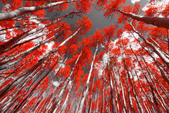 Free The Red Forest Stock Image - 50763881