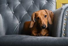 Free The Red-haired Dachshund Lies On A Turquoise Chair And Looks Straight Into The Camera With His Head Bowed. Royalty Free Stock Image - 194079026