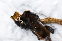 Free The Red Panda Or Lesser Panda. Royalty Free Stock Photos - 154927258