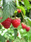 The Red Raspberry Royalty Free Stock Image