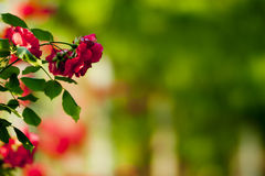 Free The Red Rose Royalty Free Stock Photos - 15034268