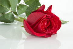 The Red Rose On Glass. Stock Photos