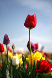 The Red Tulip Stock Photography