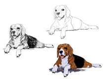 The Rest Time Of Beagle Stock Image
