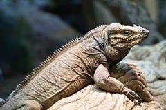 The Rhinoceros Iguana Royalty Free Stock Image