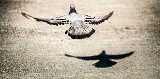 The Rock Dove Flying And His Shadow From The Ground For Freedom Royalty Free Stock Photos