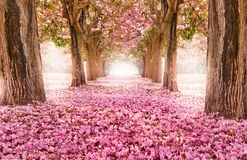 Free The Romantic Tunnel Of Pink Flower Trees Stock Image - 93135461