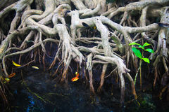 The Root And Crystal Stream Of The Mangrove Forest, Krabi Stock Photo