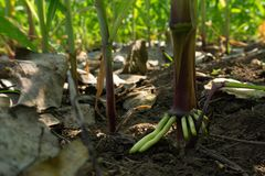Free The Root Of The Stem Of The Corn Tree, Air Roots Stock Photos - 140790233