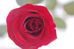 The Rose. Stock Photos