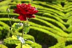 The Rose Garden Stock Photography