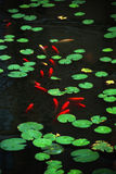The Round Green Lotus Leavs And Fish Stock Photo