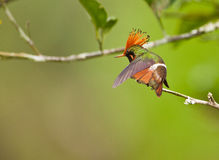 Free The Rufous-crested Coquette Royalty Free Stock Photography - 19997177