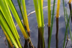Free The Sedge In Water Stock Images - 8121394