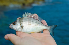 The Sharpsnout Sea Bream Royalty Free Stock Photography