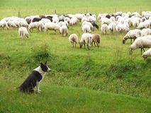 The Shepherd Dog And The Sheep Stock Photo