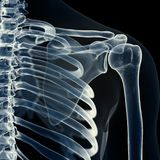 The Shoulder Joint Stock Photography