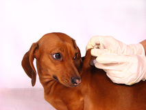 The Sick Dog Royalty Free Stock Images