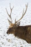 The Sika Deer Or The Spotted Deer, Or The Japanese Royalty Free Stock Images