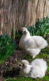 The Silkie Rooster And Chiken Stock Photo