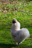 The Silkie Rooster And Chiken Royalty Free Stock Image