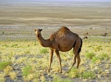 Free The Single Hump Dromedary Camel In Desert Royalty Free Stock Photo - 158636005