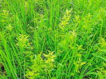 Free The Soft Focus Surface Texture Of The Ludwigia Hyssopifolia ,Onagraceae,weed In Paddy Rice Field In Thailand. Stock Photos - 125970683