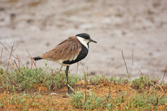 The Spur Winged Plover Royalty Free Stock Photography
